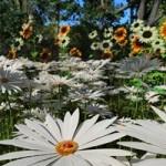 Garden Flowers Garden Daisies